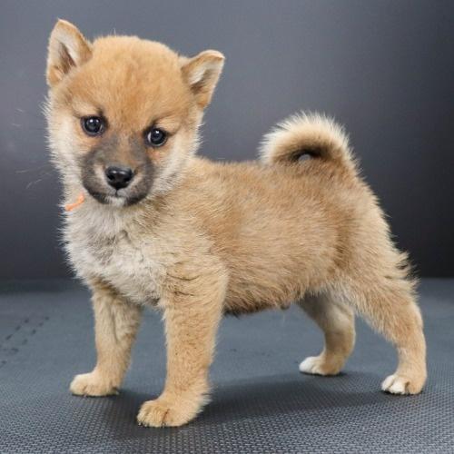 柴犬の子犬(ID:1262511905)の2枚目の写真/更新日:2020-01-22