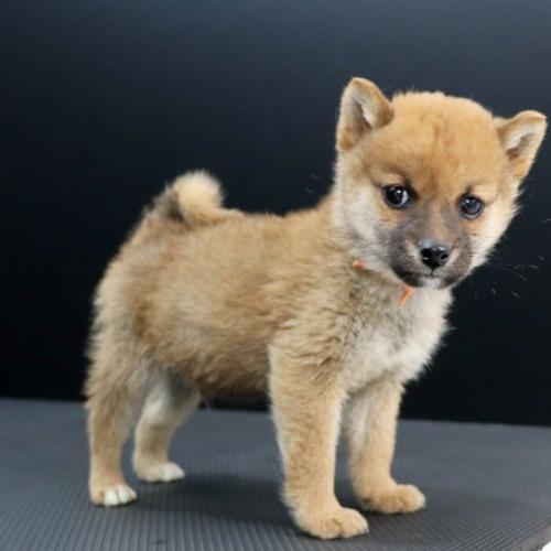 柴犬の子犬(ID:1262511905)の3枚目の写真/更新日:2020-01-22