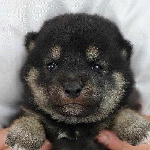 柴犬の子犬(ID:1262511906)の1枚目の写真/更新日:2020-01-22