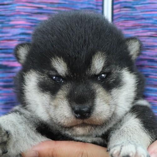 柴犬の子犬(ID:1262511979)の1枚目の写真/更新日:2020-05-21