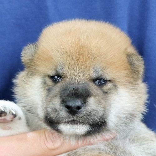 柴犬の子犬(ID:1262512011)の1枚目の写真/更新日:2020-09-19