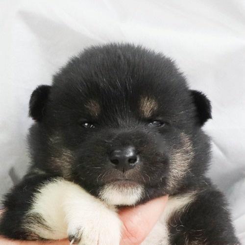 柴犬の子犬(ID:1262512014)の1枚目の写真/更新日:2020-09-24