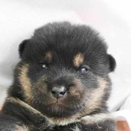 柴犬の子犬(ID:1262512015)の1枚目の写真/更新日:2020-09-27