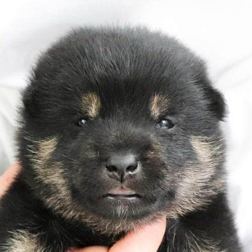 柴犬の子犬(ID:1262512016)の1枚目の写真/更新日:2020-09-27