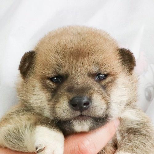 柴犬の子犬(ID:1262512017)の1枚目の写真/更新日:2020-09-27