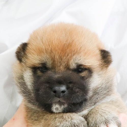 柴犬の子犬(ID:1262512018)の1枚目の写真/更新日:2020-09-27