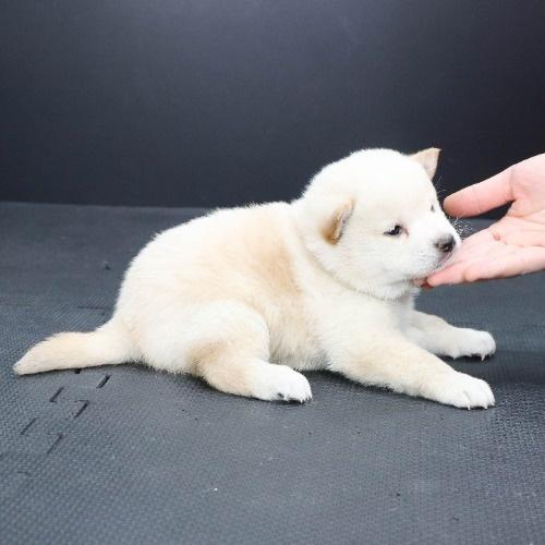 柴犬の子犬(ID:1262512118)の2枚目の写真/更新日:2021-02-16
