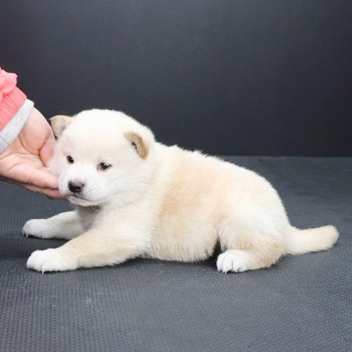 柴犬の子犬(ID:1262512118)の3枚目の写真/更新日:2021-02-16
