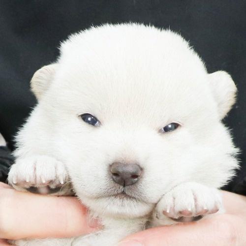 柴犬の子犬(ID:1262512119)の1枚目の写真/更新日:2021-02-16
