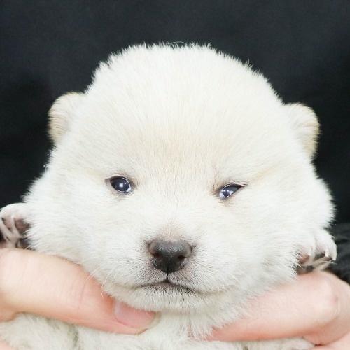 柴犬の子犬(ID:1262512120)の1枚目の写真/更新日:2021-02-16