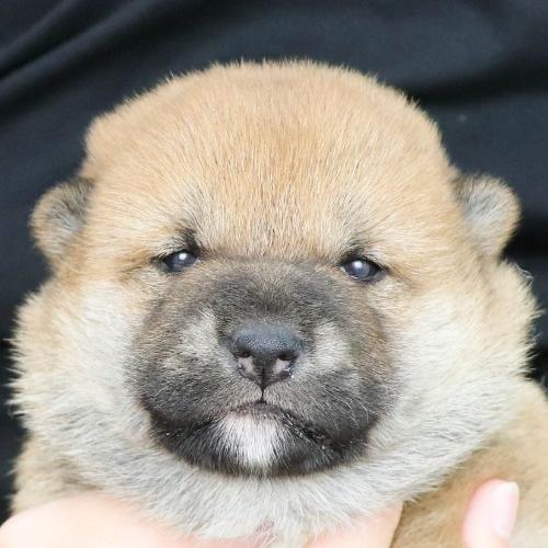 柴犬の子犬(ID:1262512147)の1枚目の写真/更新日:2021-05-12