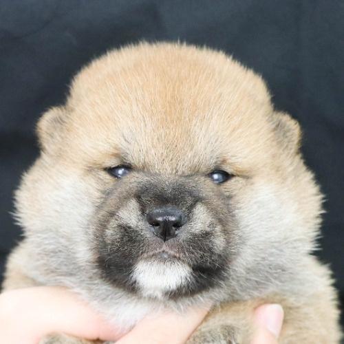 柴犬の子犬(ID:1262512148)の1枚目の写真/更新日:2021-05-12