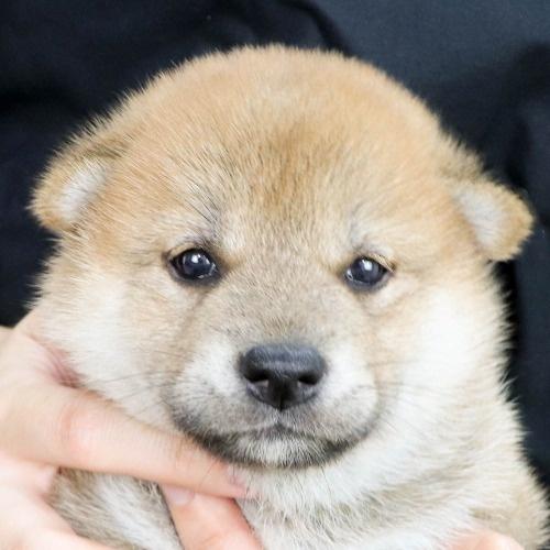 柴犬の子犬(ID:1262512172)の1枚目の写真/更新日:2021-07-12