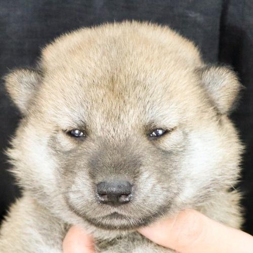 柴犬の子犬(ID:1262512173)の1枚目の写真/更新日:2021-07-12