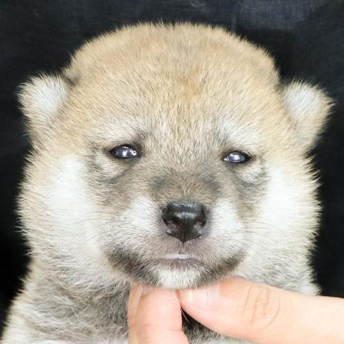 柴犬の子犬(ID:1262512174)の1枚目の写真/更新日:2021-07-12