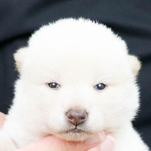 柴犬の子犬(ID:1262512176)の1枚目の写真/更新日:2021-07-17
