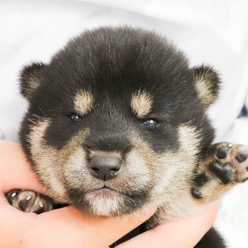 柴犬の子犬(ID:1262512177)の1枚目の写真/更新日:2021-07-17