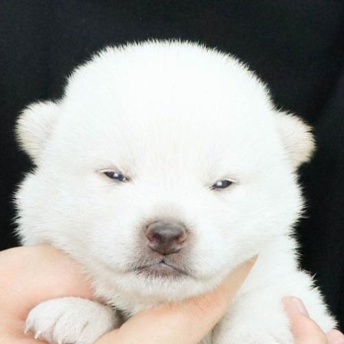 柴犬の子犬(ID:1262512178)の1枚目の写真/更新日:2021-07-18