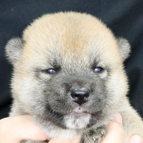 柴犬の子犬(ID:1262512180)の1枚目の写真/更新日:2021-07-19