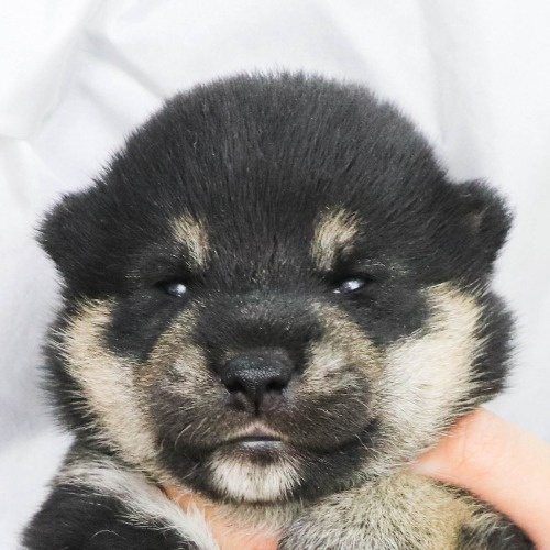 柴犬の子犬(ID:1262512181)の1枚目の写真/更新日:2021-07-27