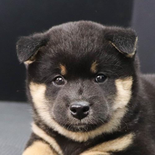 柴犬の子犬(ID:1262512182)の1枚目の写真/更新日:2021-08-03