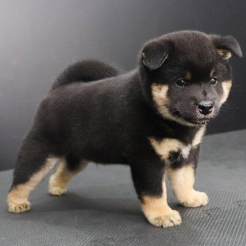柴犬の子犬(ID:1262512182)の2枚目の写真/更新日:2021-08-03