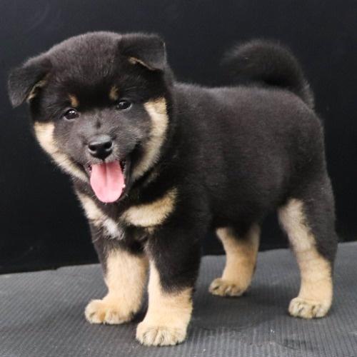 柴犬の子犬(ID:1262512182)の3枚目の写真/更新日:2021-08-03