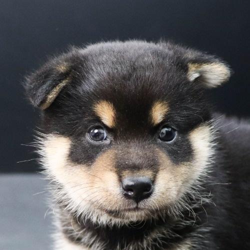 柴犬の子犬(ID:1262512183)の1枚目の写真/更新日:2021-08-03