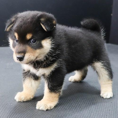 柴犬の子犬(ID:1262512183)の2枚目の写真/更新日:2021-08-03