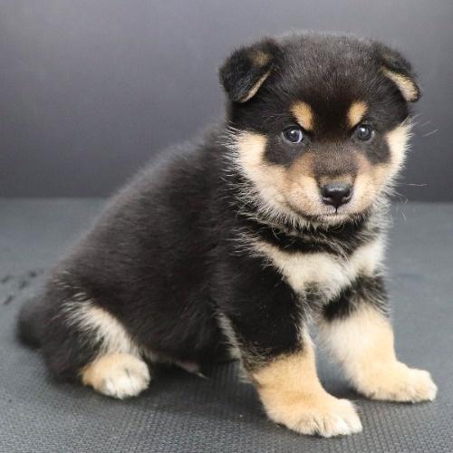 柴犬の子犬(ID:1262512183)の3枚目の写真/更新日:2021-08-03