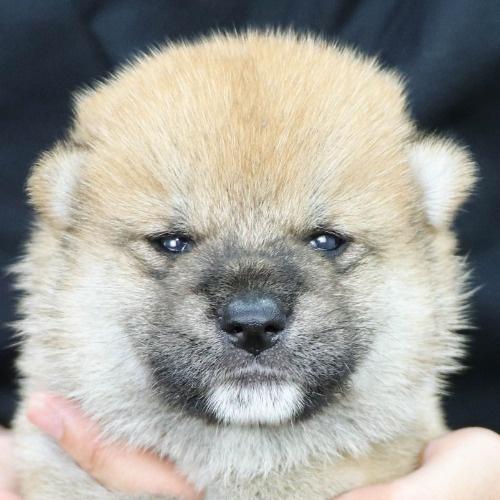 柴犬の子犬(ID:1262512184)の1枚目の写真/更新日:2021-08-03