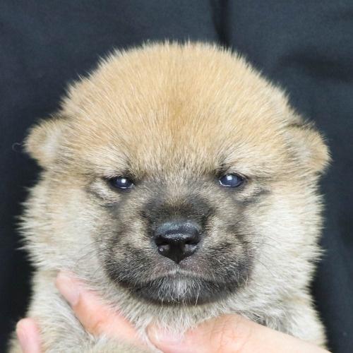 柴犬の子犬(ID:1262512185)の1枚目の写真/更新日:2021-08-03