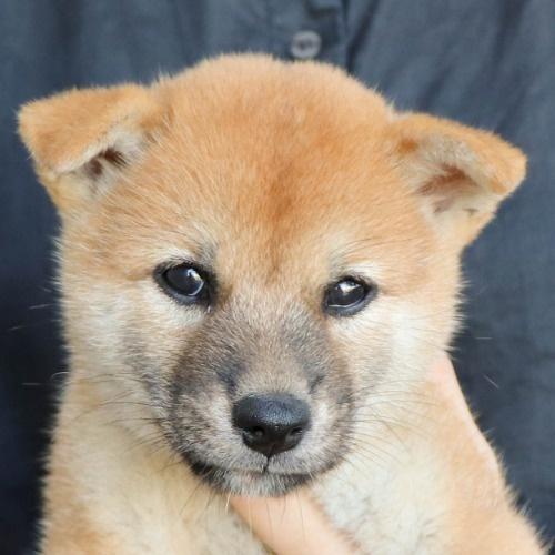 柴犬の子犬(ID:1262512186)の1枚目の写真/更新日:2021-08-05