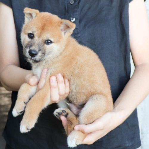柴犬の子犬(ID:1262512186)の2枚目の写真/更新日:2021-08-05