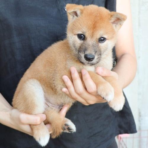 柴犬の子犬(ID:1262512186)の3枚目の写真/更新日:2021-08-05