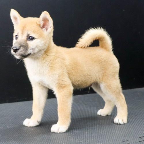 柴犬の子犬(ID:1262512187)の3枚目の写真/更新日:2021-08-16