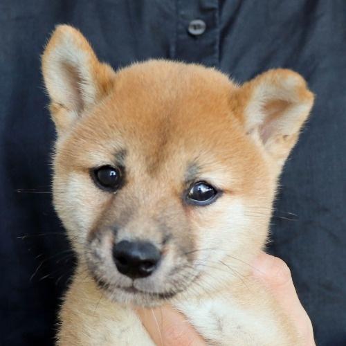 柴犬の子犬(ID:1262512188)の1枚目の写真/更新日:2021-08-05