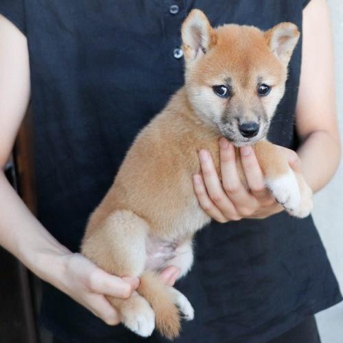 柴犬の子犬(ID:1262512188)の2枚目の写真/更新日:2021-08-05