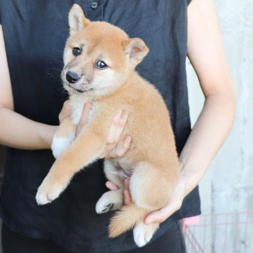柴犬の子犬(ID:1262512188)の3枚目の写真/更新日:2021-08-05