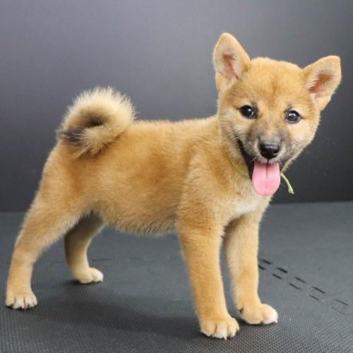 柴犬の子犬(ID:1262512189)の2枚目の写真/更新日:2021-08-29