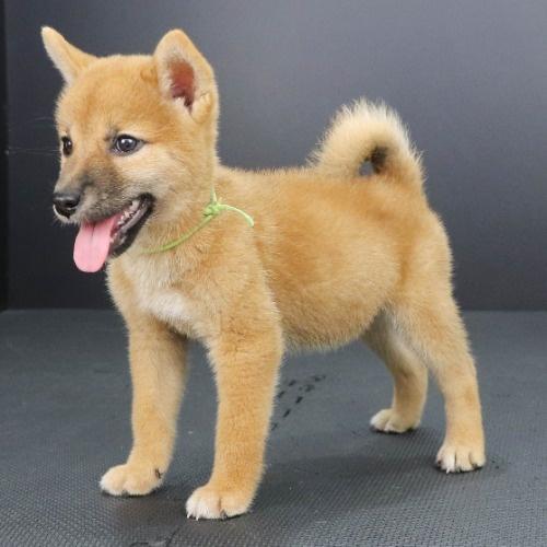 柴犬の子犬(ID:1262512189)の3枚目の写真/更新日:2021-08-29