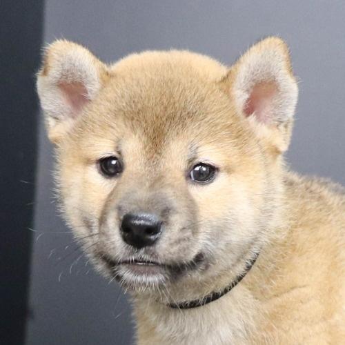 柴犬の子犬(ID:1262512190)の1枚目の写真/更新日:2021-08-16