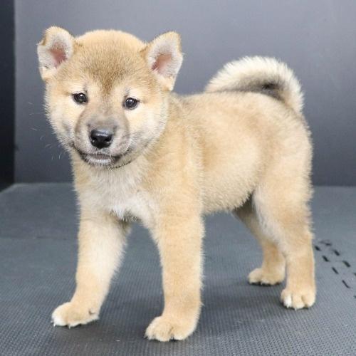 柴犬の子犬(ID:1262512190)の3枚目の写真/更新日:2021-08-16