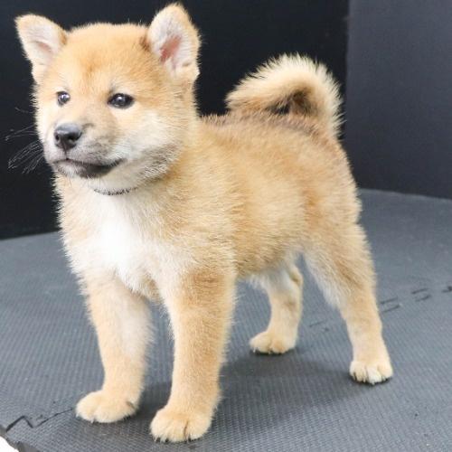 柴犬の子犬(ID:1262512191)の2枚目の写真/更新日:2021-08-16