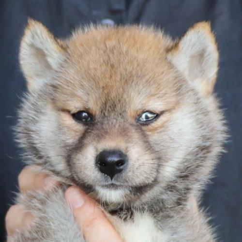 柴犬の子犬(ID:1262512192)の1枚目の写真/更新日:2021-08-05
