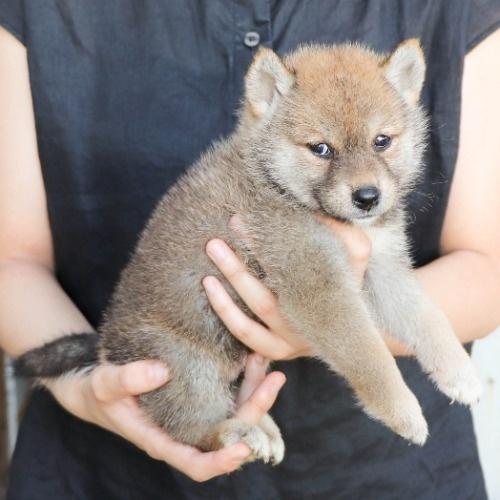 柴犬の子犬(ID:1262512192)の2枚目の写真/更新日:2021-08-05