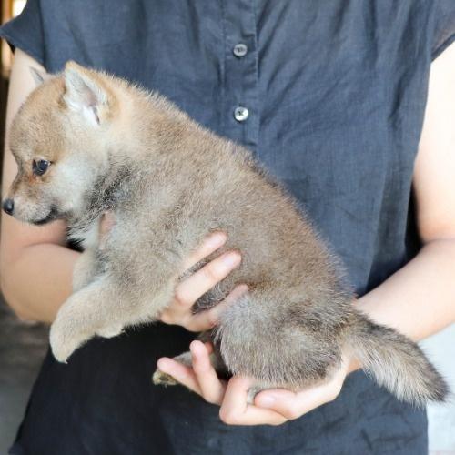 柴犬の子犬(ID:1262512192)の3枚目の写真/更新日:2021-08-05