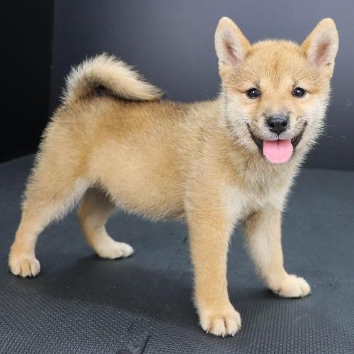 柴犬の子犬(ID:1262512193)の2枚目の写真/更新日:2021-08-29