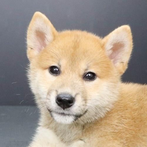 柴犬の子犬(ID:1262512194)の1枚目の写真/更新日:2021-08-16