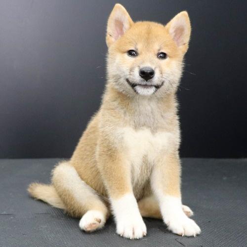 柴犬の子犬(ID:1262512194)の2枚目の写真/更新日:2021-08-16